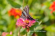 03006-00316 Zebra Swallowtail (Protographium marcellus) on Zinnia Union Co. IL