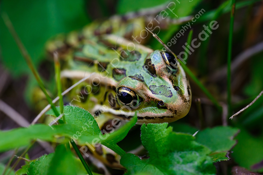 Close up image of a leopard frog trying to hide in plain sight in a field of grasses.<br /> <br /> ©2015, Sean Phillips<br /> http://www.RiverwoodPhotography.com