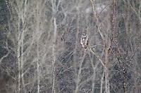 Great Grey Owls in Winter - Ottawa Ontario Canada