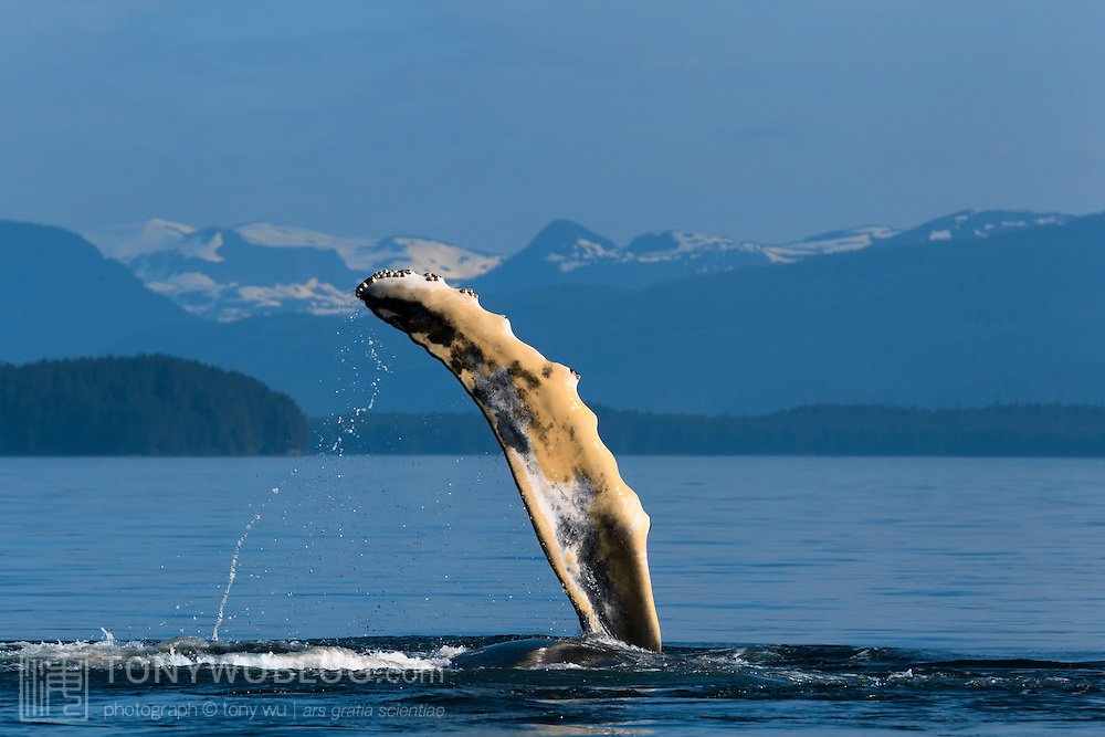 A juvenile humpback whale (Megaptera novaeangliae) playing by raising and slapping its pectoral fin, with snow-capped mountains visible in the background. Photographed in Chatham Strait, Alaska