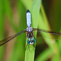 Close-up of a resting Blue Dasher Dragonfly (Pachydiplax longipennis) highlighting the beautiful green compound eyes and showing the blue pruinescence on the abdomen, Huntley Meadows Park, Alexandria, Virginia