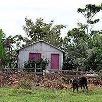 South America, Brazil, Amazon. Idyllic farm scene on the Amazon River.