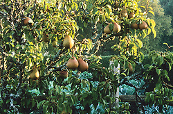 Pyrus 'Doyenne du Comice' . Early morning sun highlighting pears in the high garden at Great Dixter