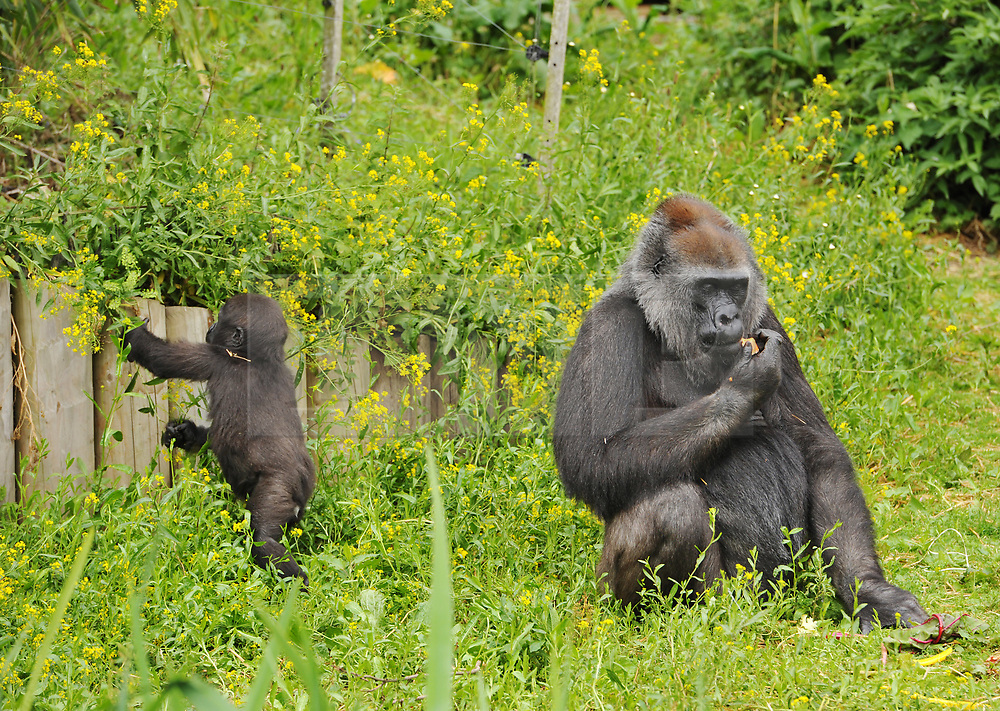 "© Licensed to London News Pictures.  30/05/2017; Bristol, UK. Former baby gorilla AFIA (left), who was born last year and hand reared by keepers is now fully integrated into the gorilla group. Keepers at Bristol Zoo Gardens have revealed that their new baby gorilla is a girl. The little Western lowland gorilla was born in the early hours of Saturday, April 22nd to first-time mum Touni and silverback gorilla dad, Jock. Touni has been at the Zoo since September 2015 after coming from La Vallée des Singes zoo in France, as a breeding partner for Jock. The bright-eyed five week old baby is getting stronger every day and now needs a name. Bristol Zoo's curator of mammals, Lynsey Bugg, said: ""Our little lowland gorilla is doing incredibly well - developing exactly as she should, feeding well and putting on plenty of weight. Now we would like to ask the public to help us choose a name for her.""  The Zoo is asking members of the public to vote on their favourite from a choice of three names, all inspired by the name 'Daisy'. She added: ""We would like to name her in memory of the baby daughter of one of our colleagues who was born four years ago on the same day as the baby gorilla. Daisy was stillborn and we thought this would be a lovely tribute to her."" Keepers have chosen a shortlist of names for the baby gorilla – Fleur, Ayana and Undama. Fleur is French for flower, chosen because Touni is French. Ayana means 'pretty flower' in Ethiopian, and Undama means 'beautiful flower' in Swahili. Voting will open later today (Tuesday 30 May) on the Bristol Zoo Facebook page. After Daisy was born, her parents, who are both members of staff at Bristol Zoo, received support from SANDS (the stillborn and neonatal death charity). For more information about SANDS, visit www.sands.org.uk/ or phone 0808 164 3331. The new baby takes the number of gorillas living at Bristol Zoo to eight. The refurbished and extended Gorilla House opened in 2013 and is able to accomm"