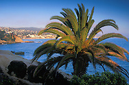 Palm Tree at Heisler Park, overlooking the waterfront town and sandy coast shore of Laguna Beach, California