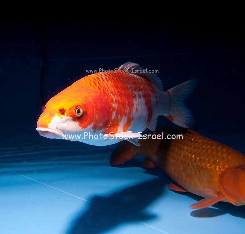 """Orange Kujaku variety Koi (Japanese: literally """"brocaded carp""""), are ornamental domesticated varieties of the common carp (Cyprinus carpio) that are kept for decorative purposes in outdoor koi ponds or water gardens. Koi are among the longest-living vertebrates, with some animals living over 200 years. Koi varieties are distinguished by colour, patterns, and scales. The most popular category of koi is the Gosanke, which is made up of the Kohaku, Taisho Sanshoku, and Showa Sanshoku varieties.Photographed at the handpick pools at Kibbutz Maagan Michael aquaculture breeding farm, Israel"""