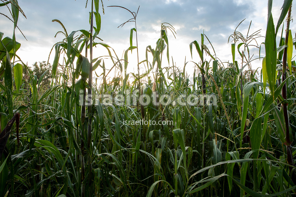 Campo de maíz en Tultepec, Estado de México / Corn field in Tultepec, Mexico