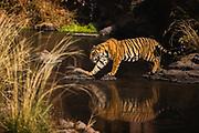 Wild Bengal tiger walking over rocks along the water, Ranthambore National Park, Rajasthan, India