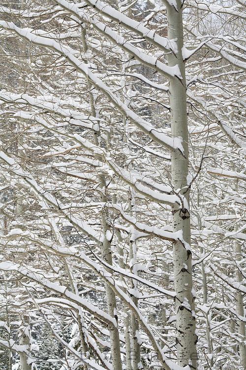 Snow covered aspens.