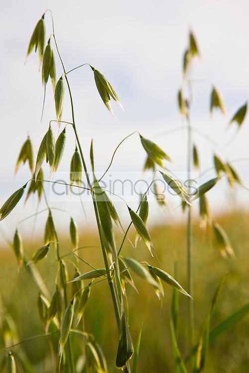 Wild oat - Avena fatua