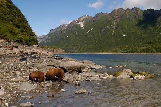 Alaskan Brown Bear (Ursus middendorffi) Mother and cub clamming. Katmai National Park. Alaska. ..Alaskan Brown Bear (Ursus middendorffi) Mother and cub clamming. Katmai National Park. Alaska.