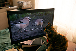 Zelda the cat is enthralled by objects on the computer screen in her Oakland, Calif. home, Saturday, Sept. 12, 2020. (Photo by D. Ross Cameron)