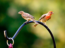 I took this shot of the male and female House Finch just hanging out in my front yard. <br />