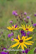 63899-05502 Sweet Black-eyed Susan (Rudbeckia subtomentosa) and Missouri Ironweed (Vernonia missurica) Marion Co., IL