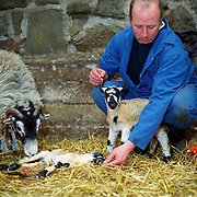 North York Moors hill farmer, Robert Myers, checks on a Swaledale ewe which has recently given birth to twins, Toad Hall, Bransdale, North Yorkshire, UK