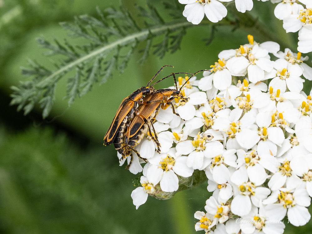 Goldenrod Soldier Beetles (Chauliognathus pensylvanicus) in an amorous embrace on a Yarrow flower at the Dene Native Meadow in Central Park