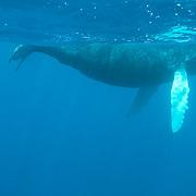 Humpback Whale (Megaptera novaeangliae) calf in the Caribbean Ocean.