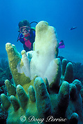 diver examines dying colony of pillar coral, Dendrogyra cylindrus; dead portion is white, Florida Keys National Marine Sanctuary ( Western Atlantic Ocean )