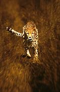 Image of a cheetah (Acinonyx jubatus) charging a prey by Randy Wells