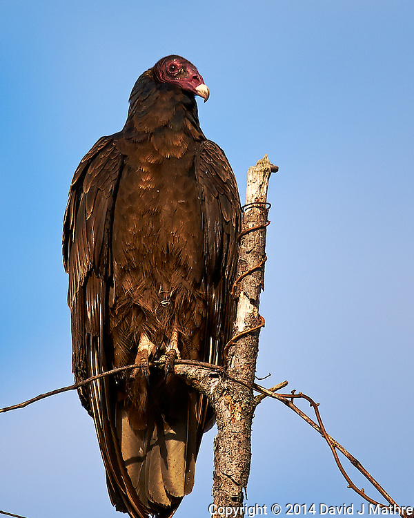 Turkey Vulture. Backyard Spring Nature in New Jersey. Image taken with a Nikon D4 camera and 600 mm f/4 VR lens (ISO 160, 600 mm, f/4, 1/2500 sec).