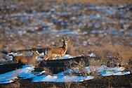 Goitered or Black-tailed gazelle, Gazella subgutturosa, male, Kalamaili National Nature Reserve, Xinjiang, China