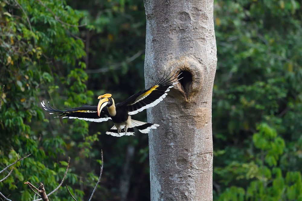 Great hornbill, Buceros bicornis, Tongbiguan nature reserve, Dehong, Yunnan, China