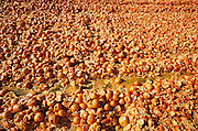 Oranges: near Bakersfield, California, USA. Surplus oranges are chopped up and dried in the sun for cattle feed by Sungro Co. near Bakersfield, California, USA.