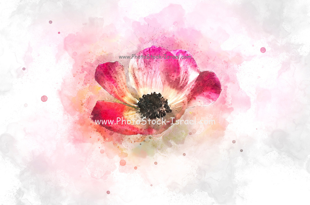 Digitally enhanced image of a bouquet of cultivated Red and purple Anemone coronaria flowers