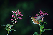 A Rufous Hummingbird (Selasphorus rufus) with broad-leaved penstemon flowers (Penstemom ovatus) on the banks of the Metolius River, in the Deschutes National Forest, Oregon.