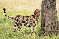 A Cheetah, Acinonyx jubatus jubatus, sniffs a tree before marking its territory in Maasai Mara National Reserve, Kenya