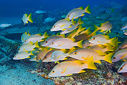 Schoolmaster Snappers, Lutjanus apodus. Sugar Wreck, the remains of an old sailing ship that was grounded many years ago, West End, Grand Bahamas, Caribbean, Atlantic Ocean