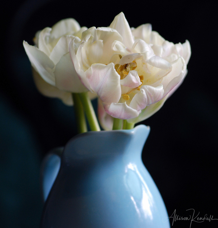 Still life of pale pink and white parrot tulips in a french blue vase.