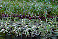 Grasses and aquatic plants along the shore of Flower Lake at Mount Seymour Provincial Park in North Vancouver, British Columbia, Canada