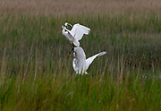 Little Egrets fight for territory on Dingle Marshes Dunwich Suffolk 4 June 2021<br />Little Egrets seen aggressively protecting their territory on Dingle Marshes part of the Suffolk Coast Nature Reserve at Dunwich on the Suffolk North Sea Coast. Little Egrets, a small white Heron are known to be especially aggressive during the breeding season. Photograph by Brian Harris/Alamy News
