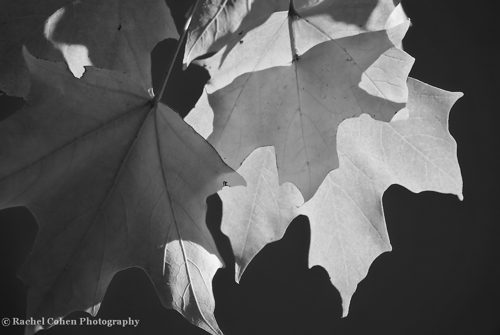 """""""Sunlight Serenade"""" <br /> <br /> Beautiful Maple leaves in darkness and light! A lovely and striking black and white nature image!"""