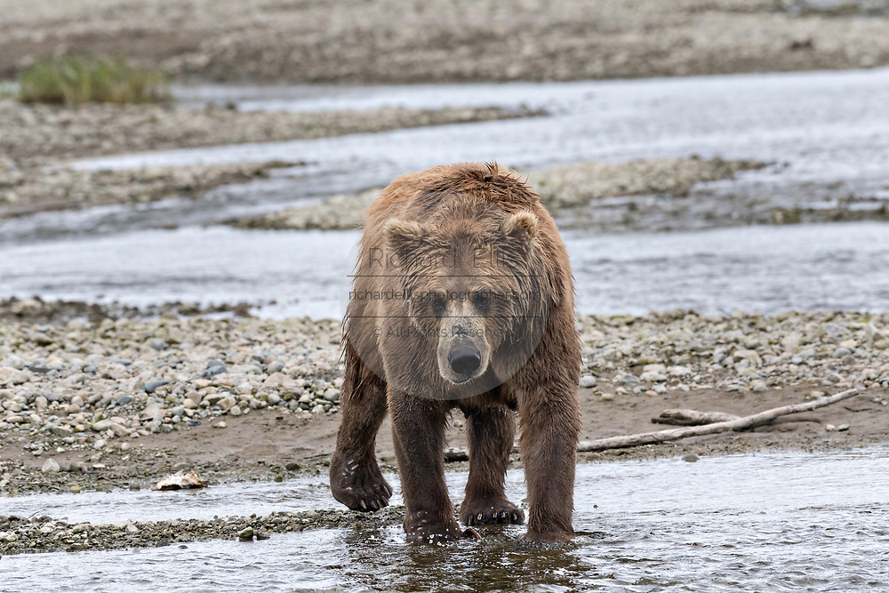 A brown bear cow known as Simba, fishes the shallow water of the lower lagoon at the McNeil River State Game Sanctuary on the Kenai Peninsula, Alaska. The remote site is accessed only with a special permit and is the world's largest seasonal population of brown bears in their natural environment.