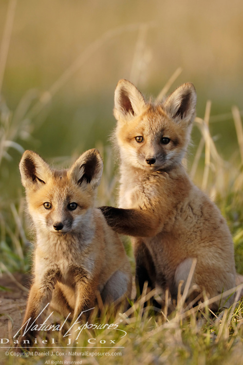 Red fox Vulpus vulpes) kit siblings showing affection. Springtime in Montana