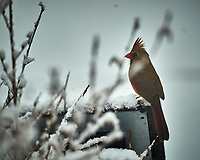 Female Cardinal on a snowy day. Image taken with a Nikon D5 camera and 600 mm f/4 VRII lens (ISO 125, 600 mm, f/4, 1/640 sec).