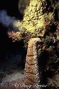 sea cucumber, Holothuria fuscopunctata, <br /> rears up while releasing eggs, <br /> Flinders Reef, Coral Sea, <br /> Australia