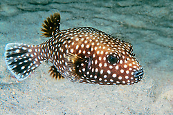 Spotted Puffer, Guineafowl Puffer, or Velcro Fish, Arothron meleagris, off Kona Coast, Big Island, Hawaii, Pacific Ocean