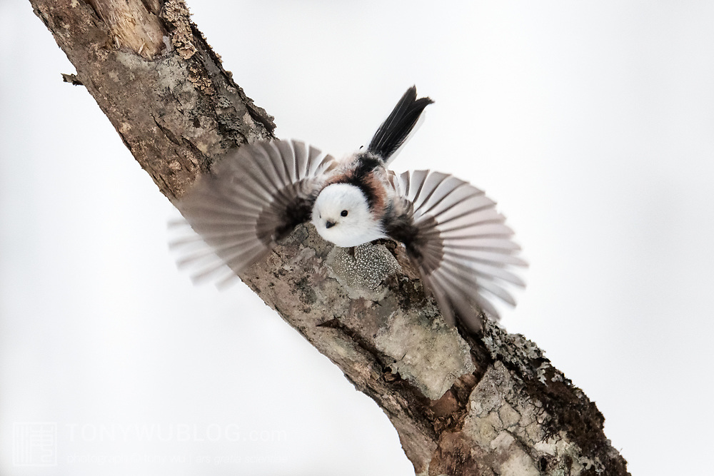 A long-tailed tit (Aegithalos caudatus) launching into flight on an overcast snowy day