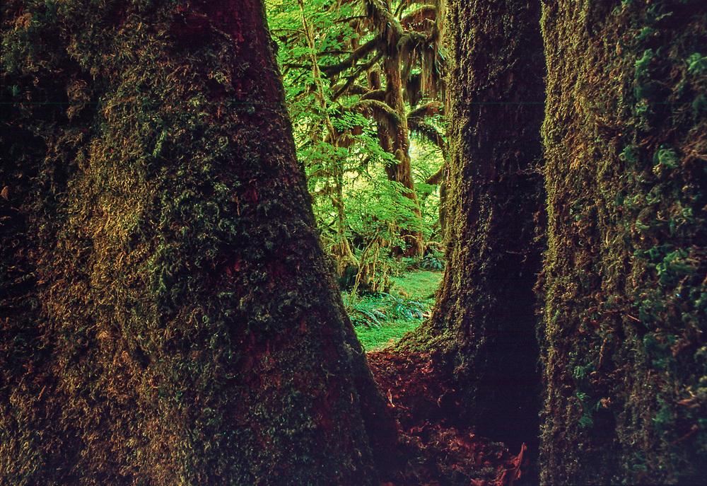Vine maple and bigleaf maple framed by tree trunks, overcast light, Spring, Hall of Mosses, Hoh Rain Forest, Olympic National Park, Washington, USA