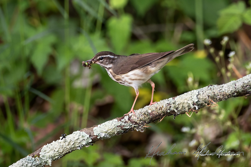 Lousiana Waterthrush (Parkesia motacilla) with a mouthful of prey for chicks on the nest.