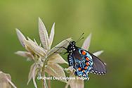 03004-01109 Pipevine Swallowtail (Battus philenor) male in Marion Co., IL