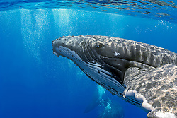 humpback whales, Megaptera novaeangliae, courtship behavior - male blowing bubbles around female, Hawaii, USA, Pacific Ocean