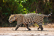 Dripping wet from the water, a wild jaguar (Panthera onca) walks on a sand bank along a river, Pantanal, Brasil, South America