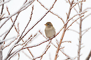 Stock photo of house sparrow captured in Colorado.  Since it's introduction in the 1850's, the house sparrow has colonized most human altered enviroments on the continent.