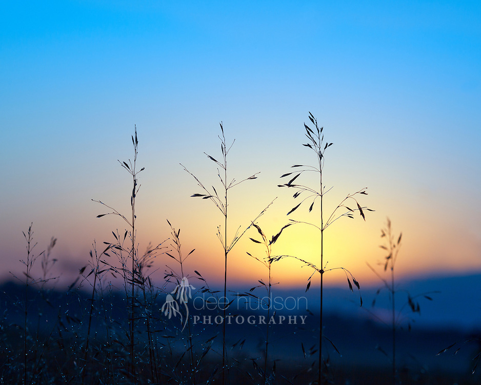 Prairie Switch Grass is a native grass that thrives in the hot, dry prairies of Illinois. With the dew drops glistening, the Switch Grass greets the dawn of a new day.