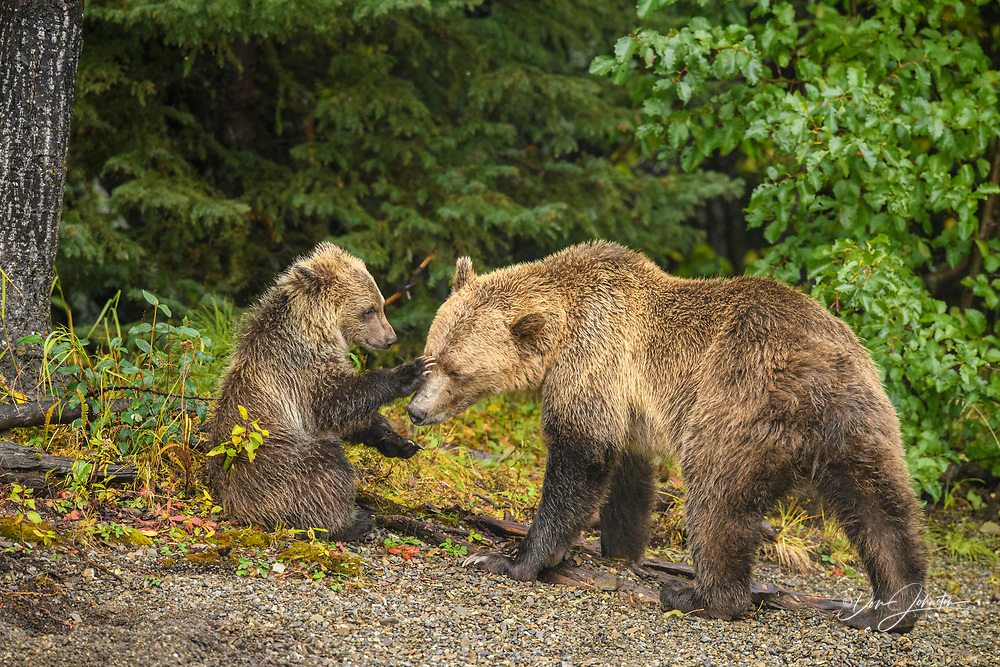 Grizzly bear (Ursus arctos)- First-year cub interacting playfully with mother on shore of the Chilko River, Chilcotin Wilderness, BC Interior, Canada