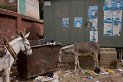Resting mules amidst rubbish at the weekly market at Qurna, a village on the West Bank of Luxor, Nile Valley, Egypt.